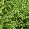 SVAKA ŽENA OVO MORA DA IMA: Ovo je biljka koja ČUVA kuću od zla i garantuje srećan BRAK i NOVAC
