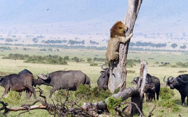 lav- bivoli