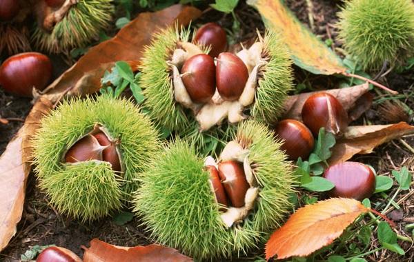 divlji-kesten-plod