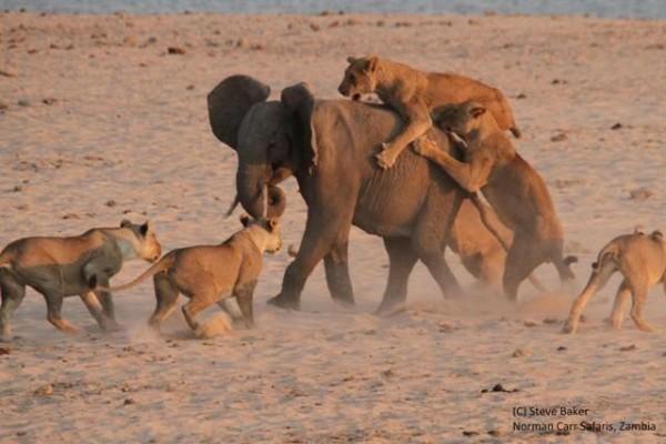 slon- lavovi