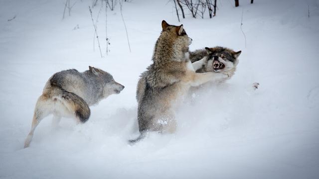 vukovi- borba