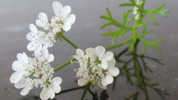 Ova čudotvorna biljka može da izleči jednu opaku bolest! (RECEPT)