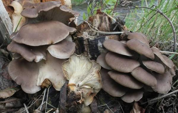 gljiva- bukovaca