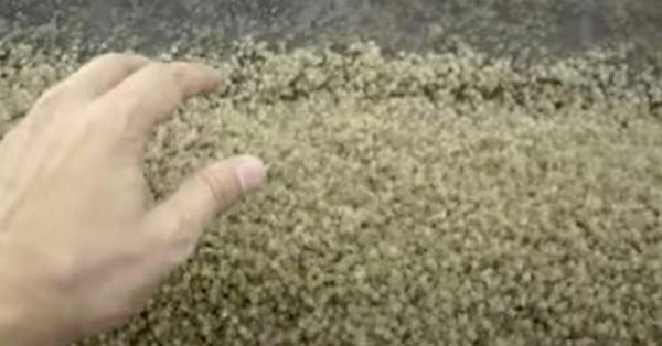 pesak-krabe
