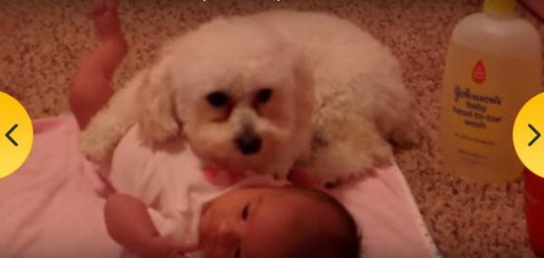 pudlica-  beba