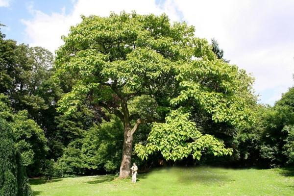 paulownija- drvo- zasad 1