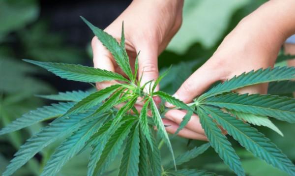 marihuana-konoplja-kanabis