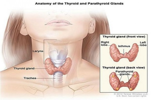 stitnjaca-anatomija