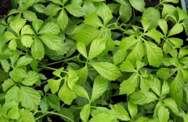 jiaougulan-biljka