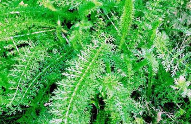 kunica-biljka