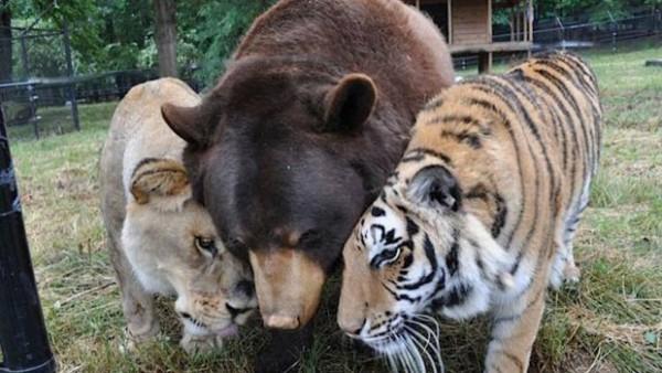 lav-medved-tigar