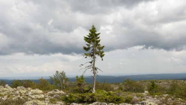 drvo-najstarije