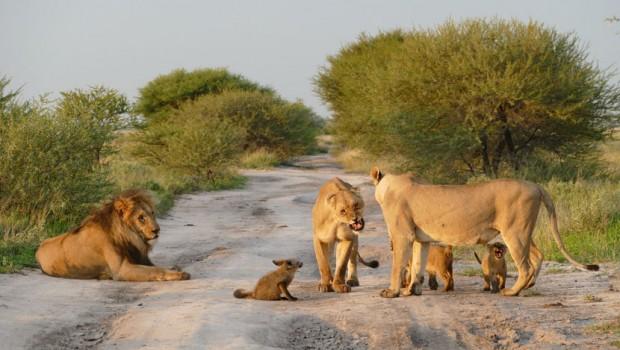 lavovi-lisica