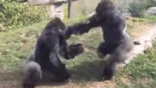 tuca-gorila
