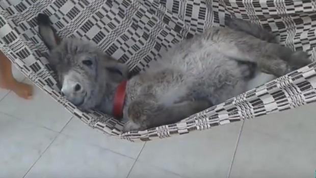 Rastopićete se kada vidite kako ovo preslatko magarence uživa u ležaljci (VIDEO)