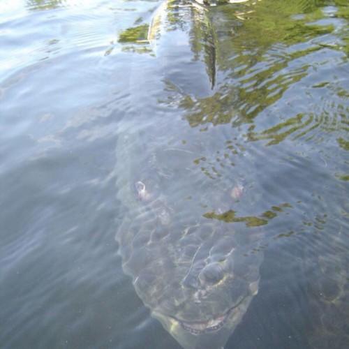 riba-zmaj