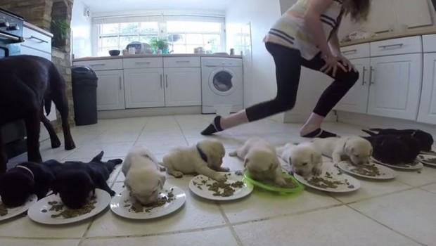 labradori-jedu-prvi-put