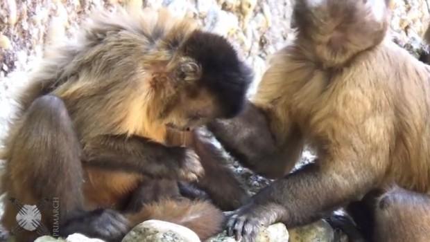 majmuncici