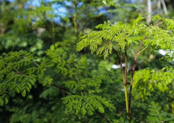 moringa-drvo
