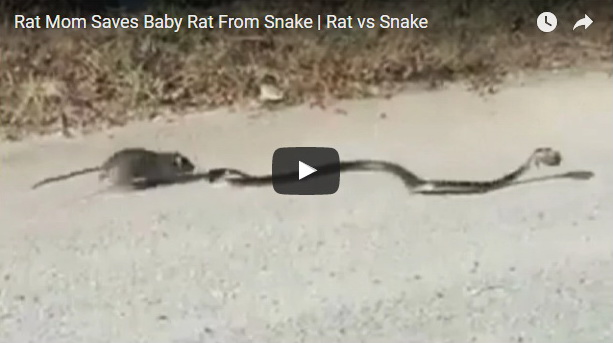 pacov- mis- zmija