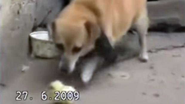 Ostaćete bez daha kad vidite šta je ovaj pas uradio piletu (VIDEO)