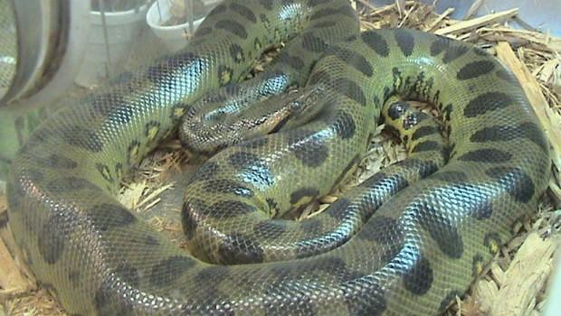Šta mislite koja je najveća zmija koja je ikada postojala? (VIDEO)