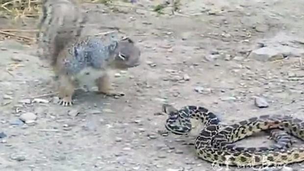 veverica-zmija