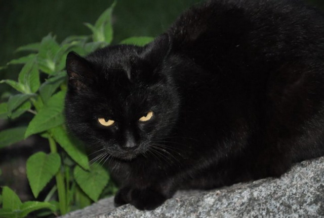 crna-macka