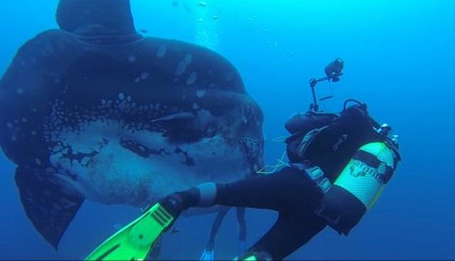 OČI U OČI S MORSKIM DŽINOM Ovoliku ribu niste videli (VIDEO)