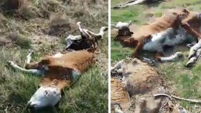 Snimak strave i užasa: Devojke krenule da spasu pse u srpskom selu, a naletele na razbacane leševe po zemlji (VIDEO)