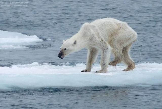 polarni-medved