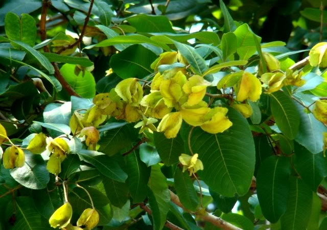biljka-ardzuna