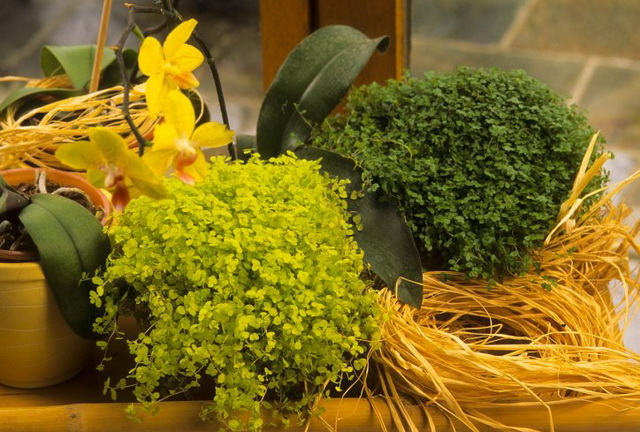 kucna-sreca-biljka