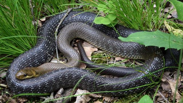 OPREZ! Najezda zmija u Srbiji: Ako vas ujede otrovnica, obavezno uradite sledeće stvari…