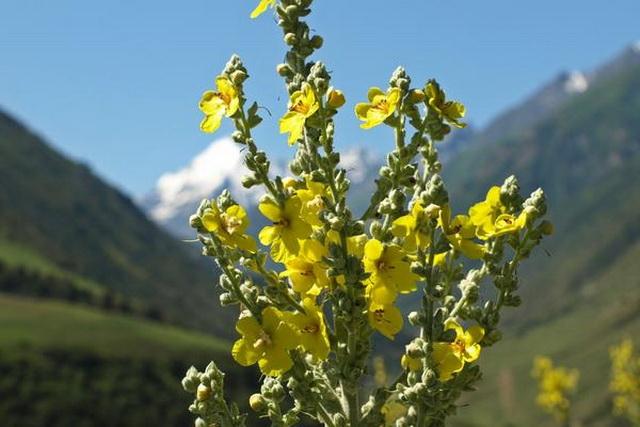 petrovac-biljka