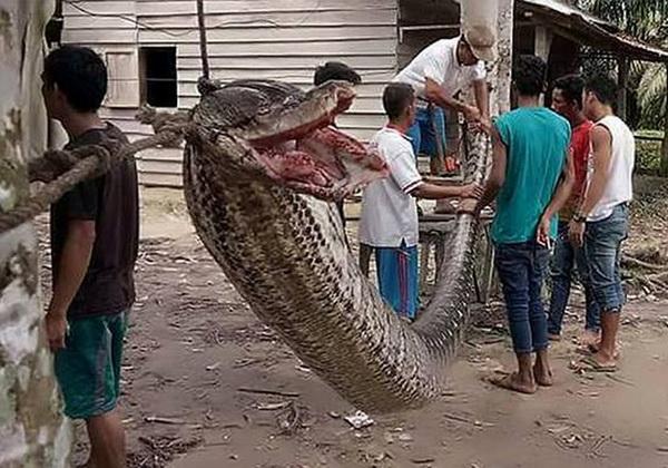 piton-zmija