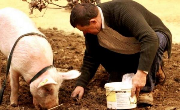 tartufi- svinja- covek- obor